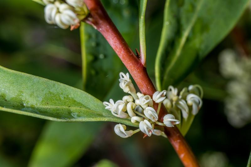 Willow-leaved hakea (Hakea salicifolia). Abel Tasman Inland Track above Tinline Bay.