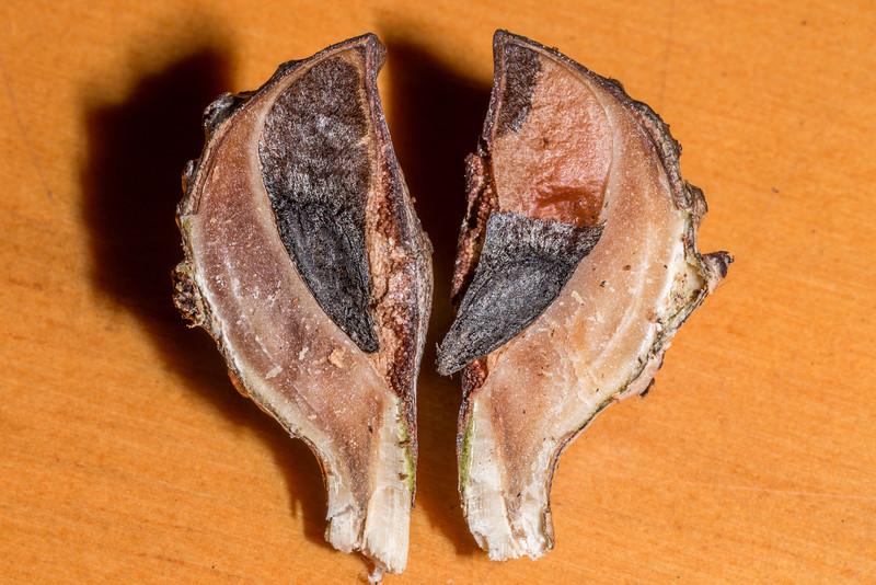 Willow-leaved hakea (Hakea salicifolia) nut. Abel Tasman National Park.