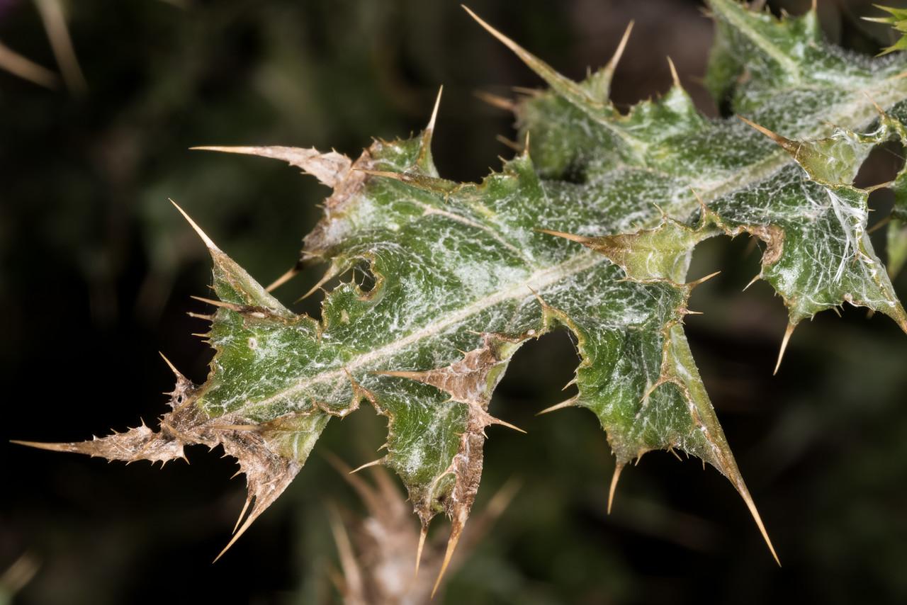 Winged thistle (Carduus tenuiflorus). Heyward Point, Dunedin.