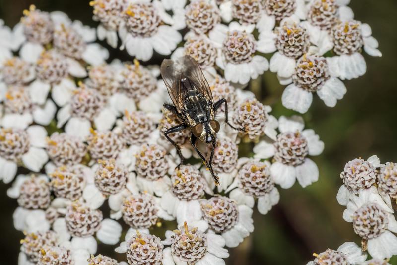 Flesh fly (Sarcophagidae) on yarrow (Achillea millefolium). Raspberry Flat, Matukituki River West Branch.