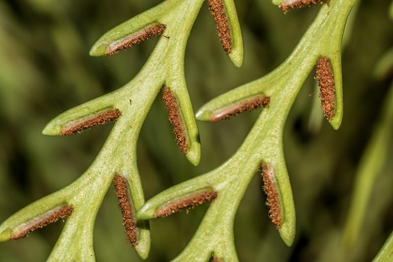 Hanging spleenwort / ngā makawe o Raukatauri (Asplenium flaccidum). Waiopaoa Stream, Lake Waikaremoana.