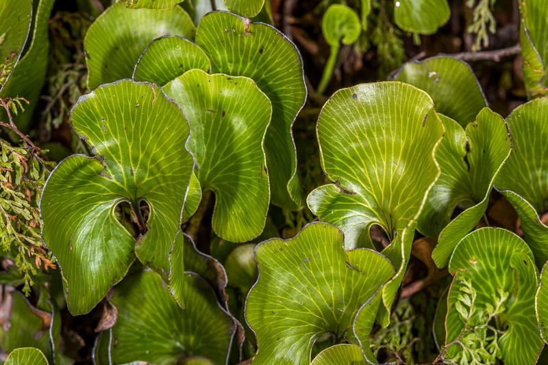 Kidney fern / kopakopa or raurenga (Cardiomanes reniforme). Panekiri Range to Waiopaoa Hut, Lake Waikaremoana Track, Te Urewera National Park.