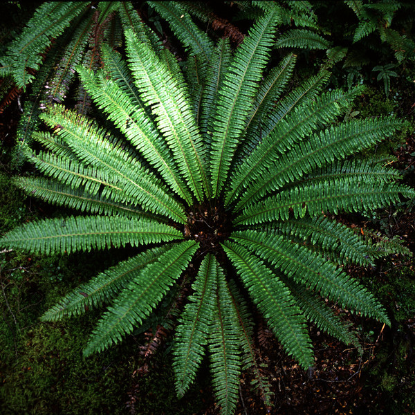 Crown fern (Blechnum discolor). Green Lake, Fiordland