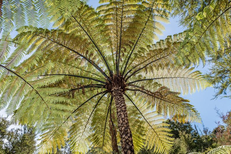 Black tree fern / mamaku (Cyathea medullaris). Abel Tasman Inland Track above Tinline Bay.