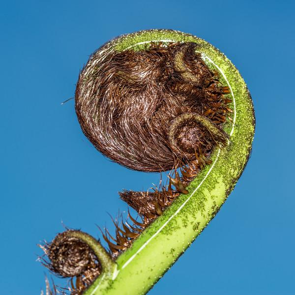 Black tree fern / mamaku (Cyathea medullaris). Sandy Bay, Abel Tasman Coast Track.
