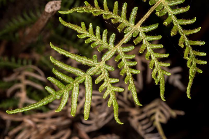 Bracken fern / rarauhe (Pteridium esculentum). Heyward Point Reserve, Dunedin.