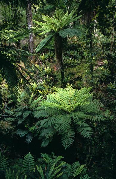 Rain forest, Stewart Island NWC