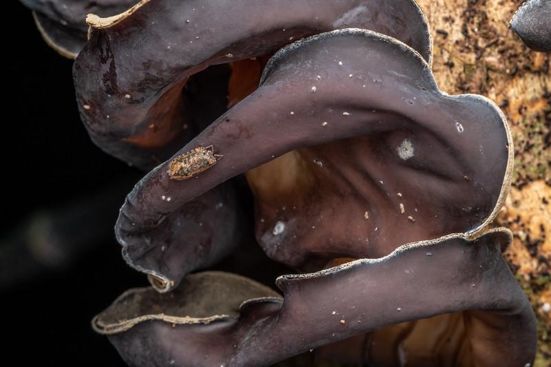 Isopod (Cubaris tarangensis) on ear fungus (Auricularia cornea). Poukaria campsite, Whanganui River.