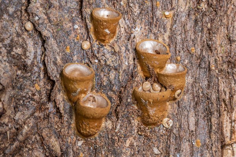 Common bird's nest fungus (Crucibulum laeve). Nydia campsite, Nydia Bay, Marlborough Sounds.