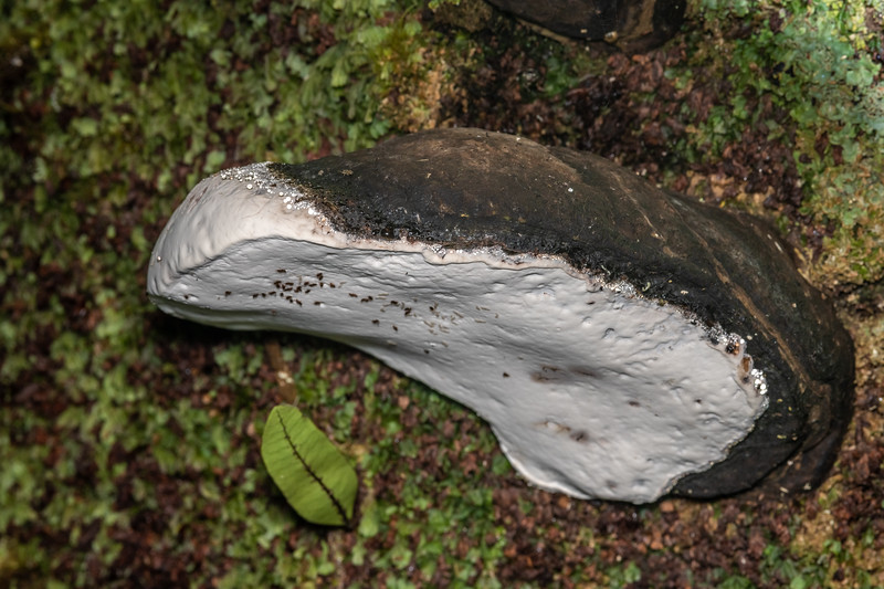 Artist's bracket fungus (Ganoderma spp.). Lady Bay, Long Sound, Fiordland National Park.