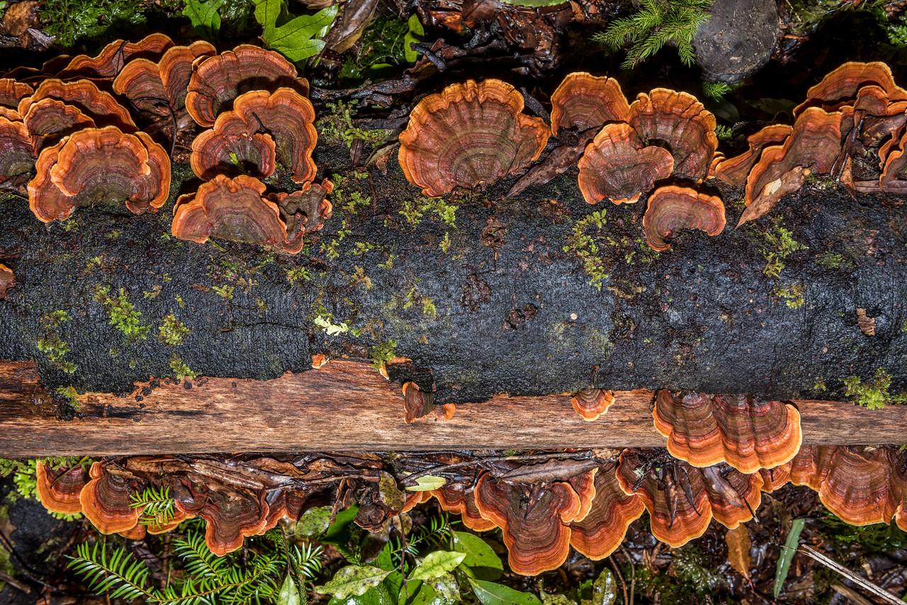 Unidentified fungus. Puketukutuku Range, Lake Waikaremoana Track, Te Urewera National Park.