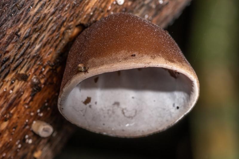 Unidentified fungus. Marokopa Falls Track, Waikato.