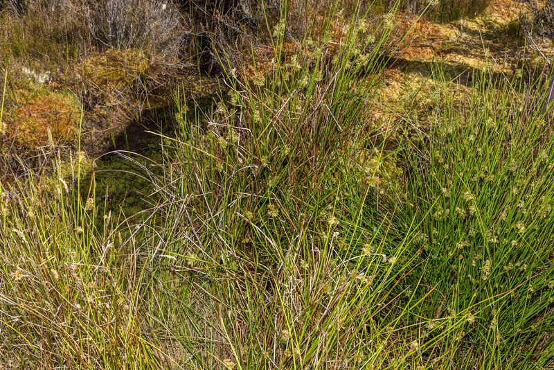 Lesser wire rush (Empodisma minus). Amoeboid Mire, Kepler Track, Fiordland National Park.