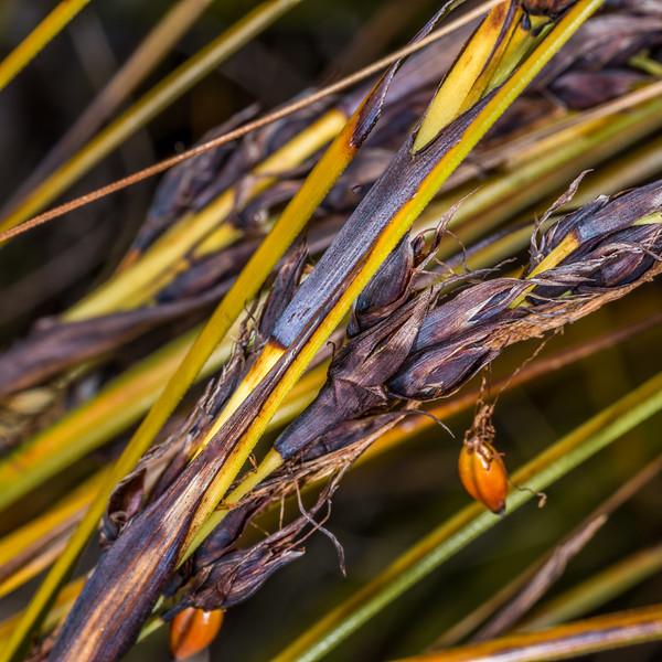 Giant sedge (Gahnia procera). Moa Park, Abel Tasman National Park.