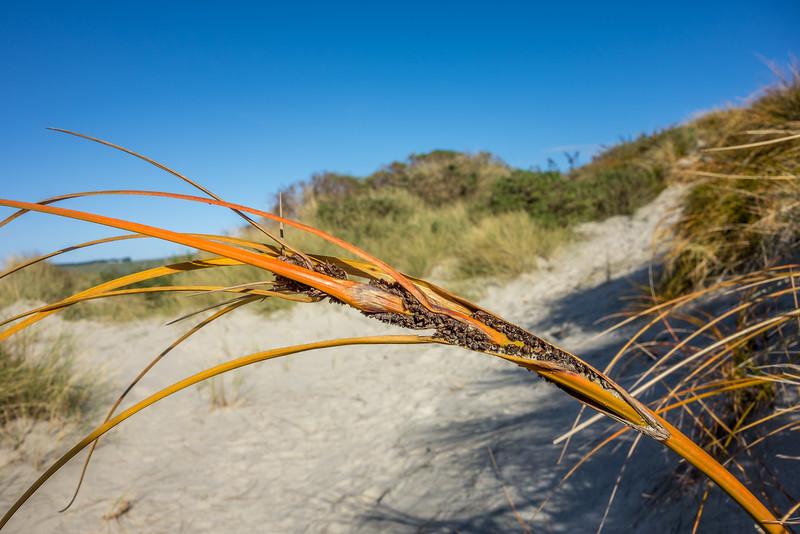 Golden sand sedge / pīngao (Ficinia spiralis). Victory Beach / Okia, Otago Peninsula.