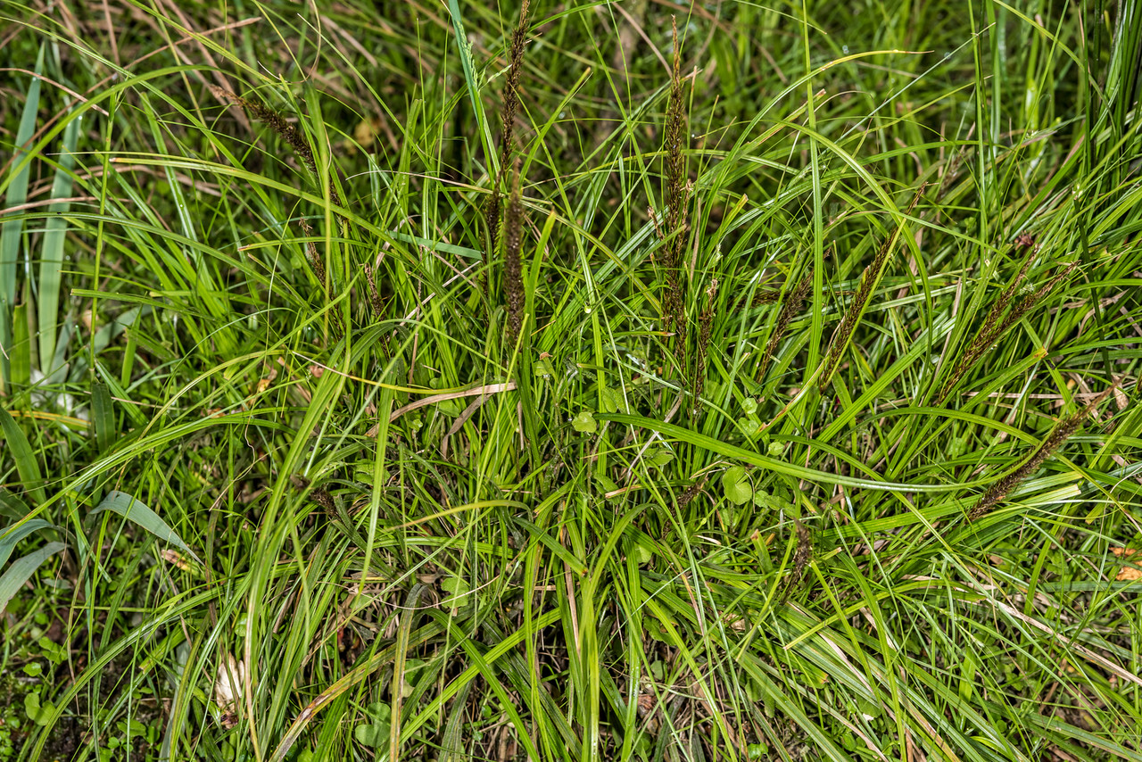 Hook grass / kamu (Uncinia uncinata). Seaforth River, Fiordland National Park.
