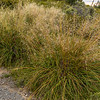 Mid-ribbed snow tussock (Chionochloa pallens susp. pilosa). Mt Fyffe, Kaikoura