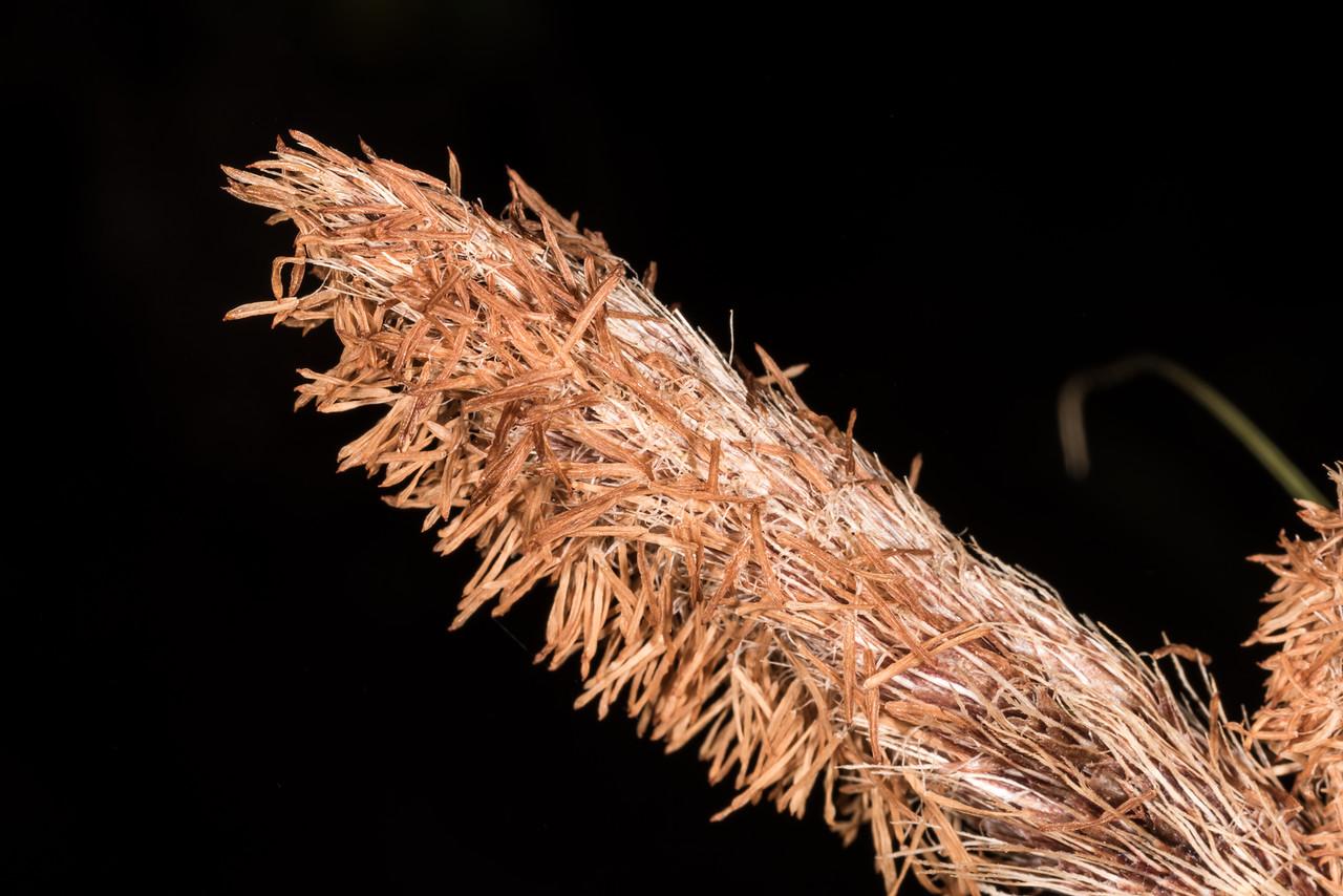 Mutton-bird sedge / tataki (Carex trifida) and shore hebe (Hebe elliptica). St Clair, Dunedin.