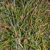 Mutton-bird sedge / tataki (Carex trifida). St Clair, Dunedin.