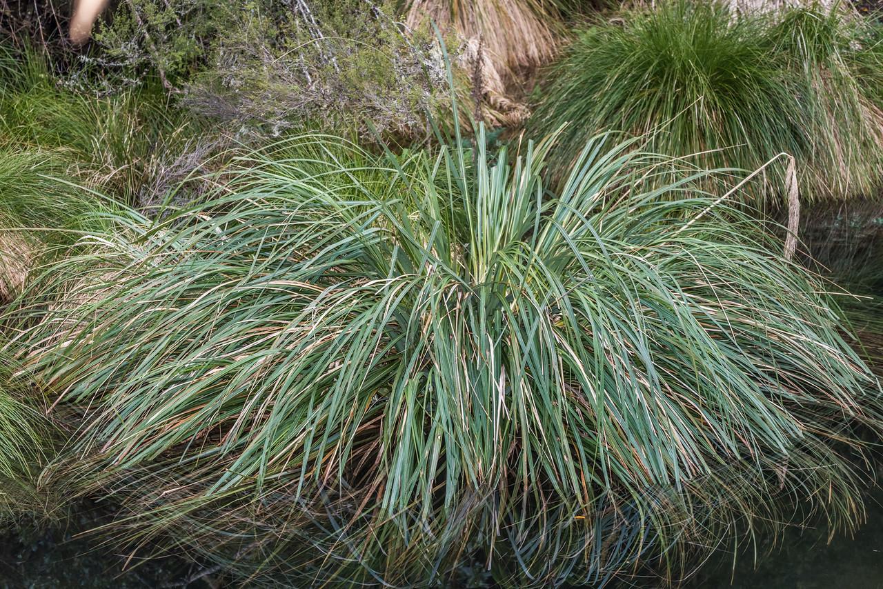 Toetoe (Austroderia fulvida) (?). Waiopaoa Stream, Lake Waikaremoana.