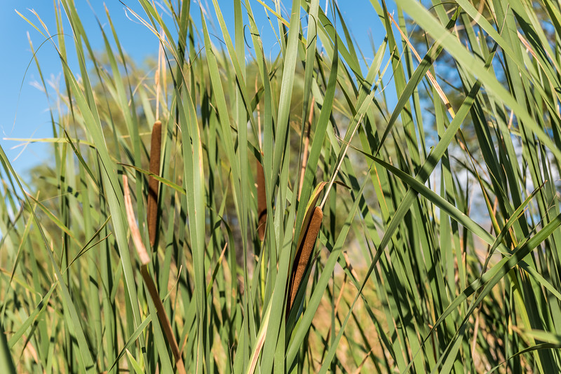 Raupo (Typha orientalis). Butchers Dam, Alexandra, Central Otago.
