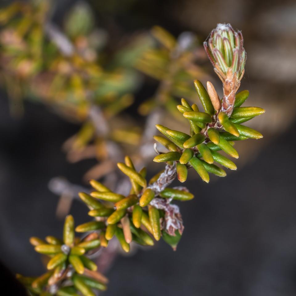 Androstoma empetrifolia. Perry Saddle, Heaphy Track, Kahurangi National Park.
