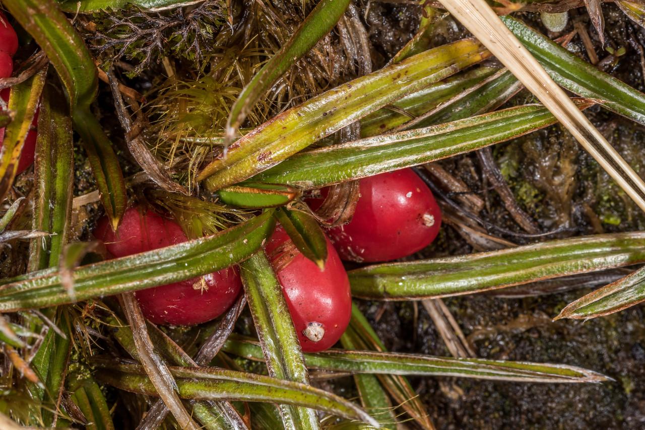 Astelia linearis. Centre Pass, Fiordland National Park.