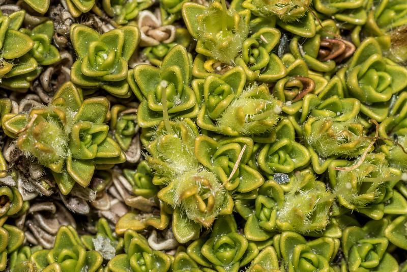 Veronica thomsonii, or rather, Veronica x uniflora, a hybrid of V. thomsonii and V. densifolia. Sentinel Peak, Lake Hawea.