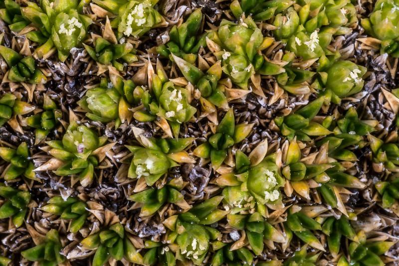 Colobanthus squarrosus ssp. squarrosus. Mount Arthur, Kahurangi National Park.