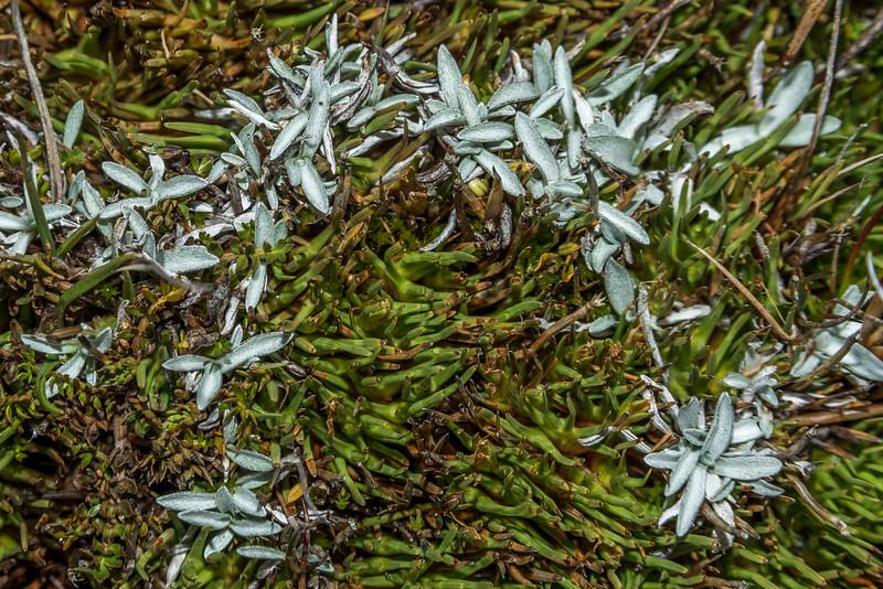 Comb sedge (Oreobolus pectinatus) and Euchiton traversii (the small herb with white, hairy leaves). Bush Stream, Canterbury