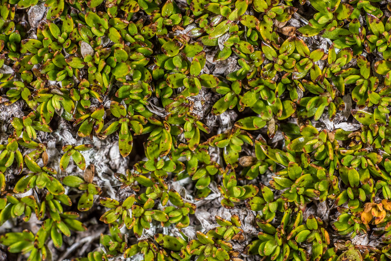 Coprosma atropurpurea. Mount Arthur, Kahurangi National Park.