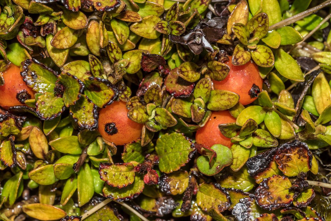 Creeping coprosma (Coprosma perpusilla) ? Barrier Range, Dart River / Margaret Burn