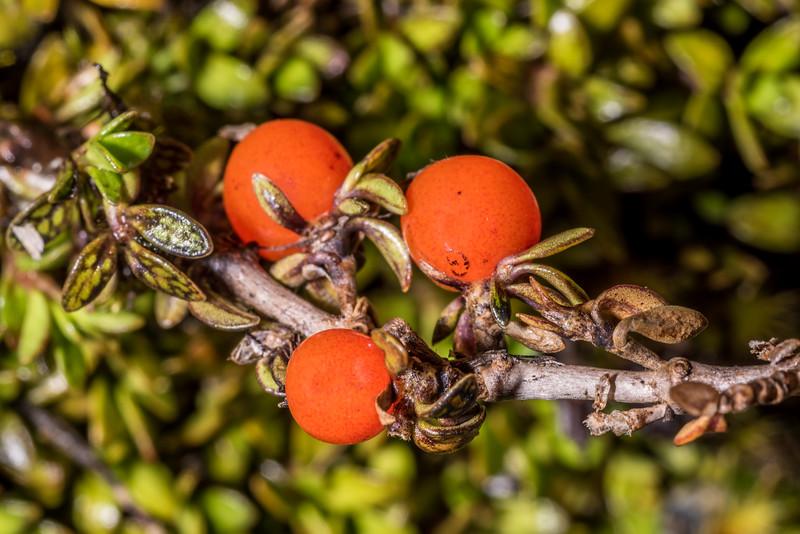 Creeping coprosma (Coprosma perpusilla). Kepler Track tops, Fiordland National Park.