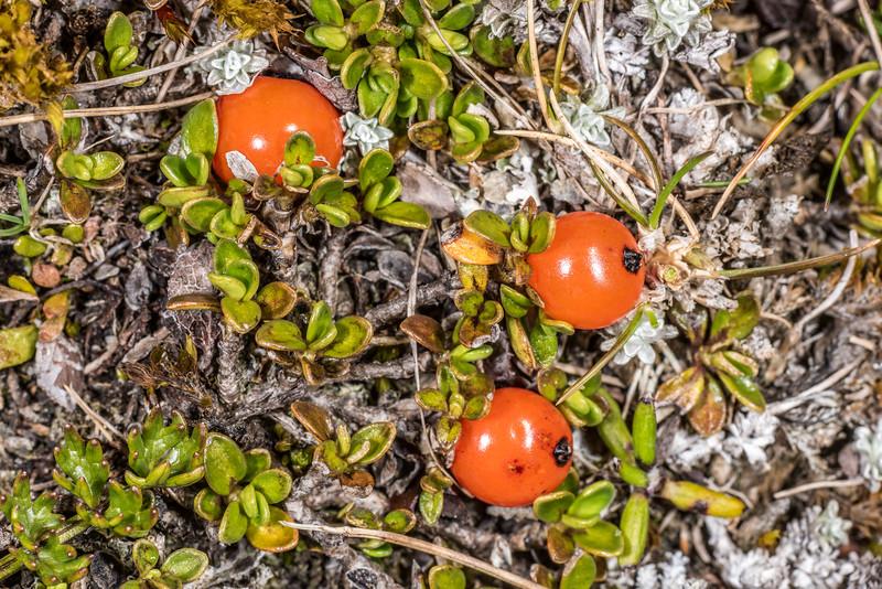 Creeping coprosma (Coprosma perpusilla ssp. perpusilla). Mount Arthur, Kahurangi National Park.
