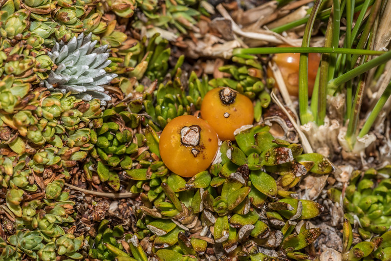 Creeping coprosma (Coprosma perpusilla), with orange berries; Kelleria croizatii, small, pale green; Hectorella caespitosa, large, bright green; Large-flowered mat daisy (Raoulia grandiflora), silvery. Barrier Range, Dart River / Margaret Burn