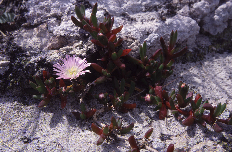 Native ice plant (Disphyma australe). Boulder Beach, Otago Peninsula