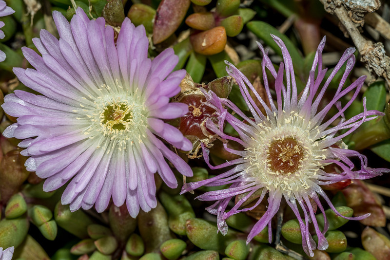Native ice plant / Horokaka (Disphyma australe), Watsons Beach