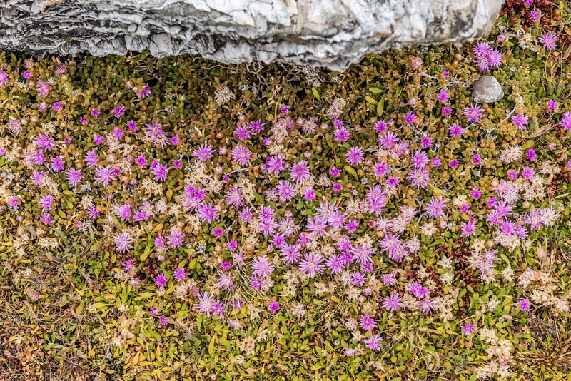 Chatham Island ice plant (Disphyma papillatum). Ohira Bay, Chatham Island.