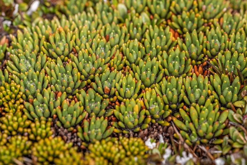 New Zealand cushion (Donatia novae-zelandiae). Buckland Peaks, Paparoa Range.