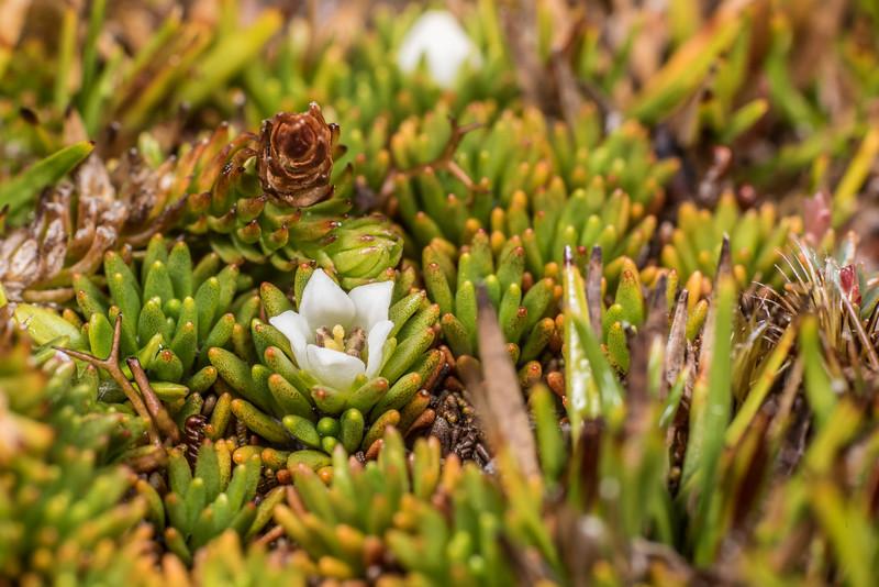 Donatia novae-zelandiae. Cameron Mountains, Fiordland National Park.
