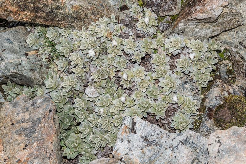 Haastia sinclairii var. sinclairii. Mount Wakefield, Aoraki / Mount Cook National Park.