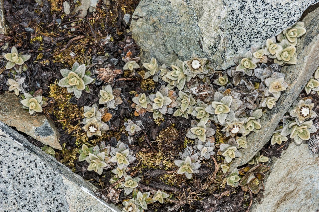 Haastia sinclairii var. fulvida. Young Range tops, Camerons Creek / Waterfall Creek, Otago.