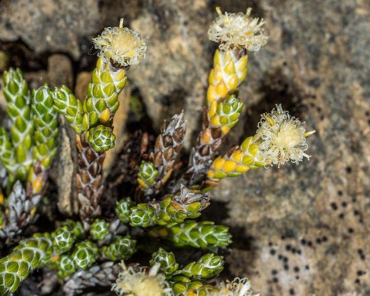 Helichrysum intermedium. Ellis Basin, Arthur Range, Kahurangi National Park.