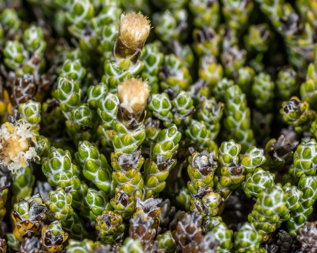 Helichrysum intermedium. Mount Arthur, Kahurangi National Park.