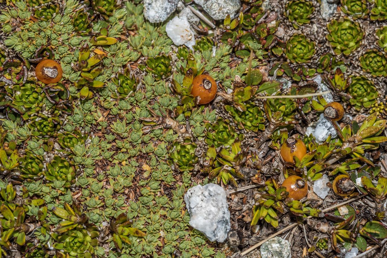 Creeping coprosma (Coprosma perpusilla), with orange berries; Kelleria croizatii, small, pale green; Hectorella caespitosa, large, bright green. Barrier Range, Dart River / Margaret Burn