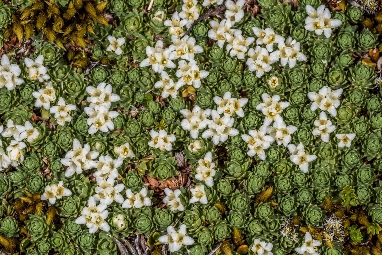 Kelleria croizatii. Gertrude Saddle, Fiordland National Park.