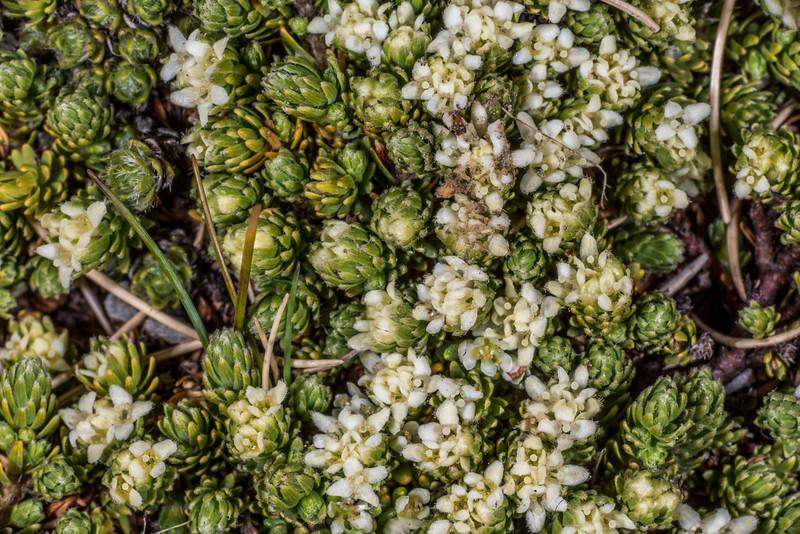 Kelleria dieffenbachii. Mount Arthur, Kahurangi National Park.