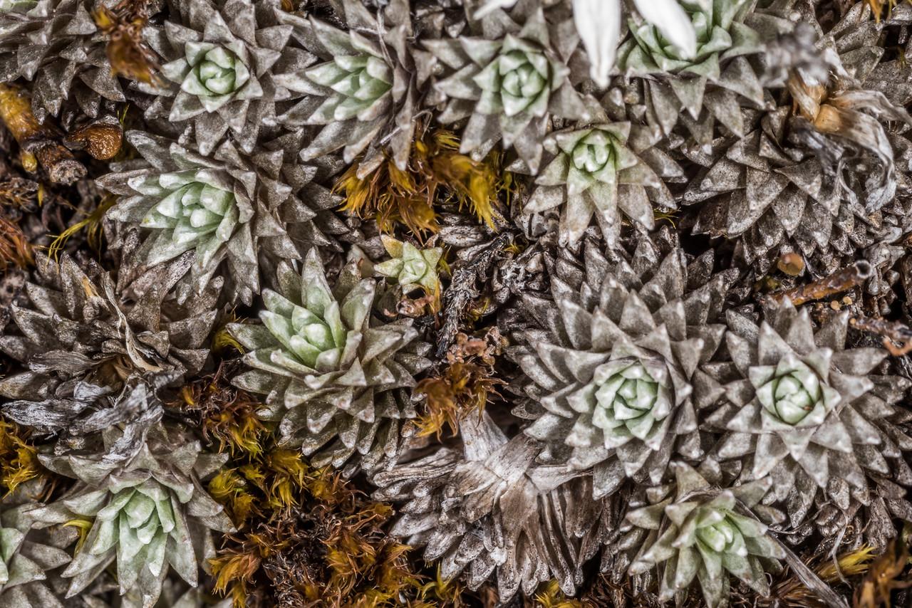 Large-flowered mat daisy (Raoulia grandiflora). Kepler Track Tops, Fiordland National Park.