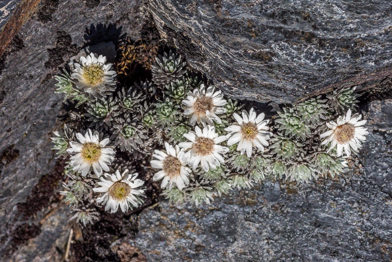 Large-flowered mat daisy (Raoulia grandiflora). Mount Arthur, Kahurangi National Park.