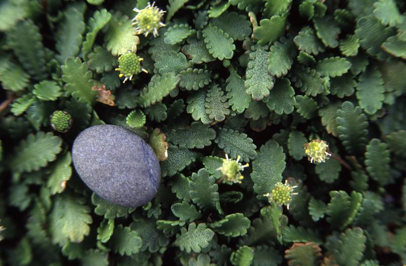 Shore cotula (Leptinella dioica). Boulder Beach, Otago Peninsula